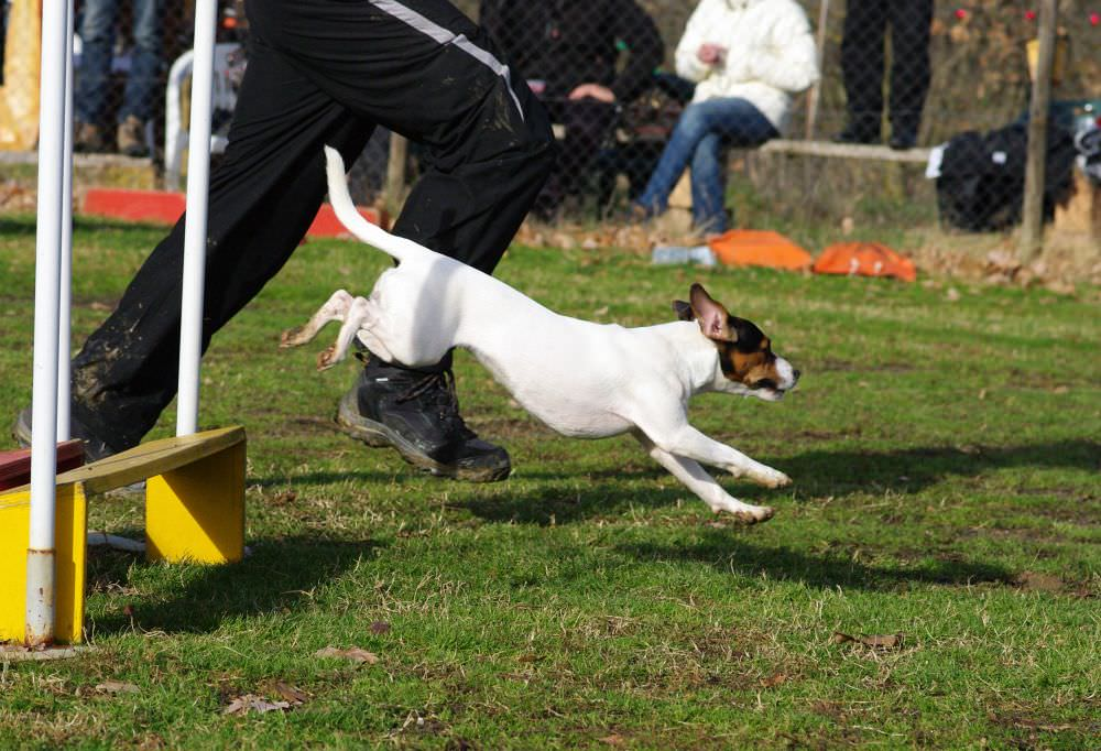 Agility Training Hundeschule Jack Russell