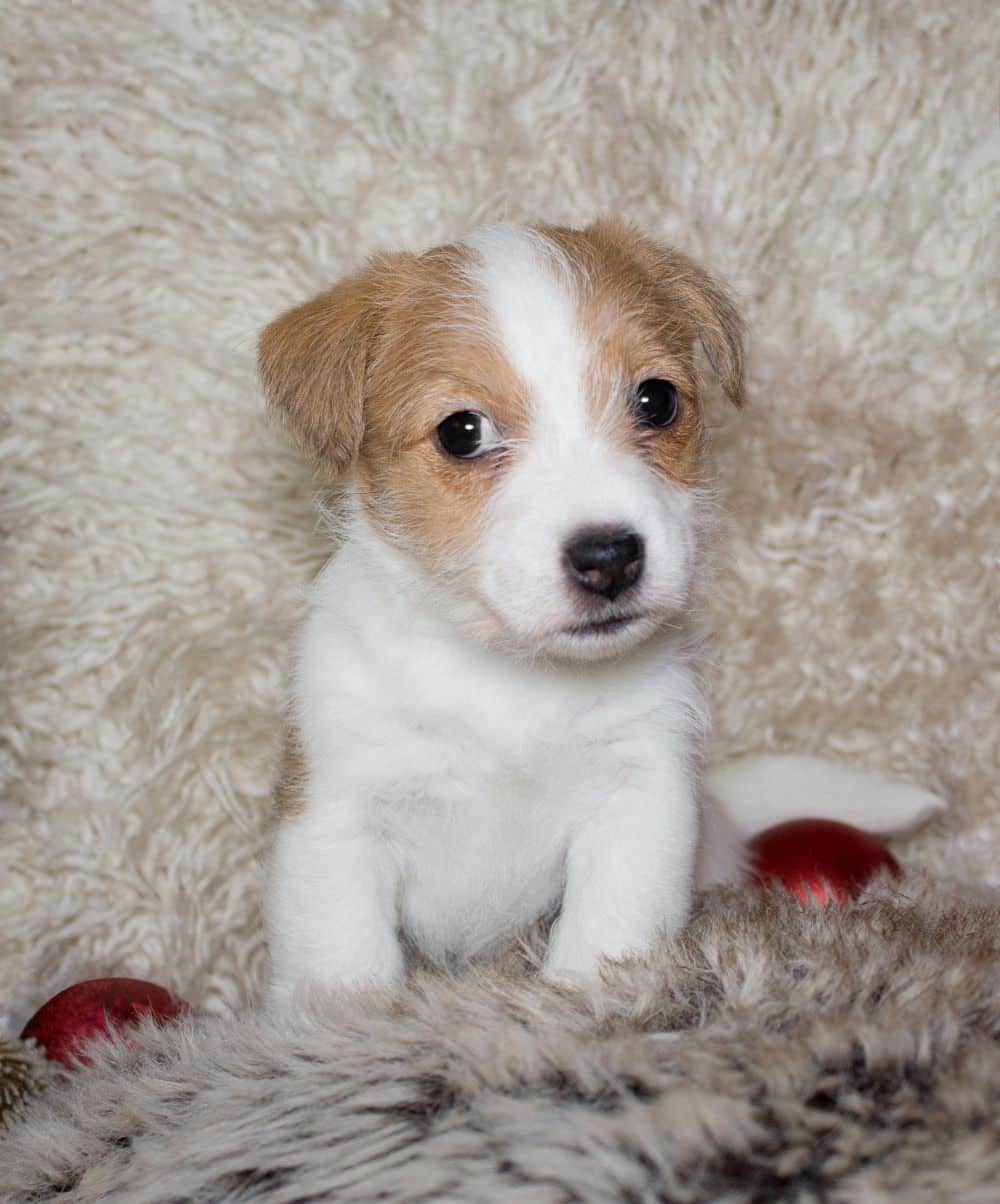 Germany, Baden Wuerttemberg, Jack Russel Terrier puppy on