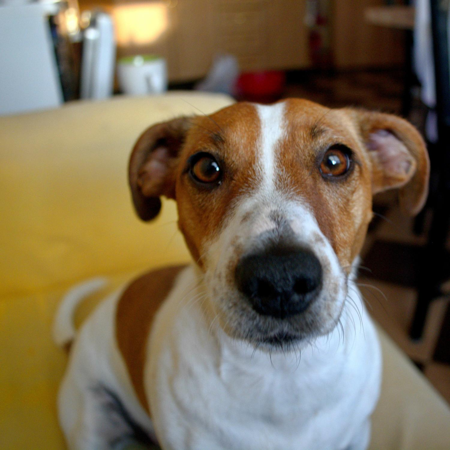 Jack Russell in Not